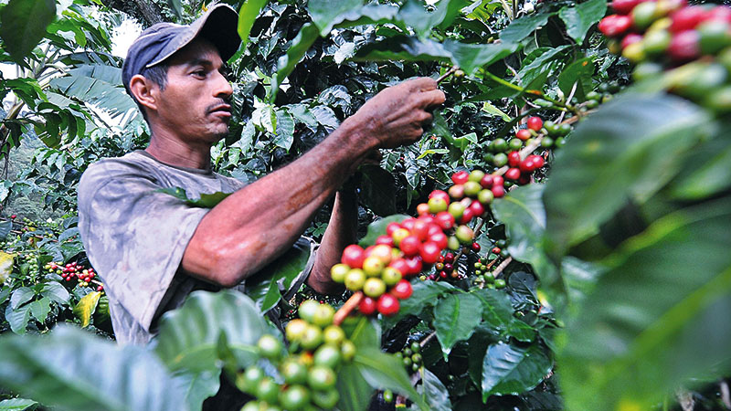 Coffee & cashew plantations at CHT - Bangladesh Post